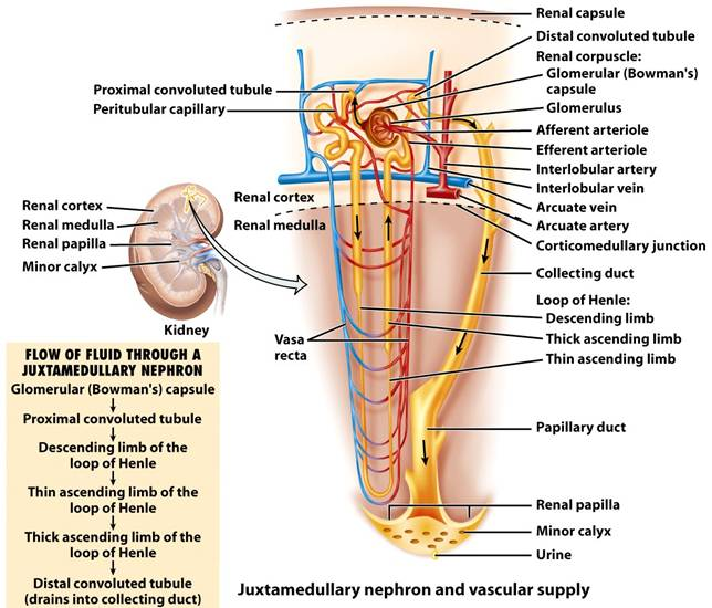 Chapter 26—The Urinary System