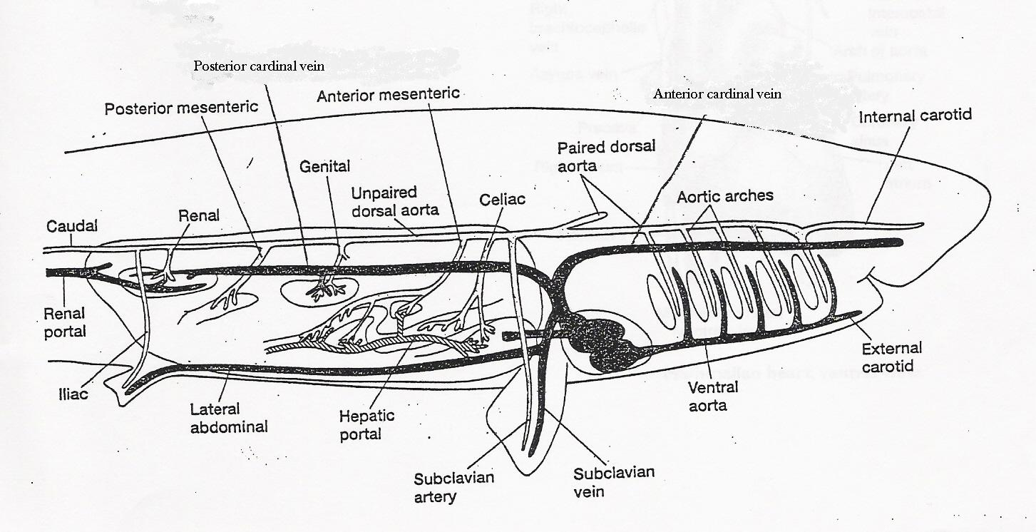 External shark anatomy